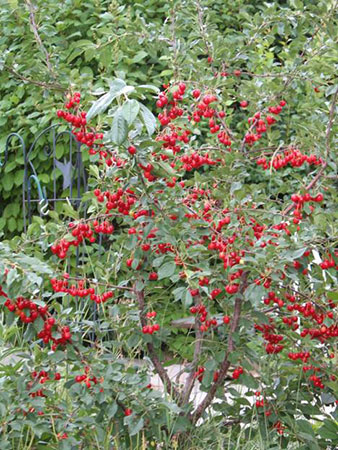 Evans Cherries On Tree